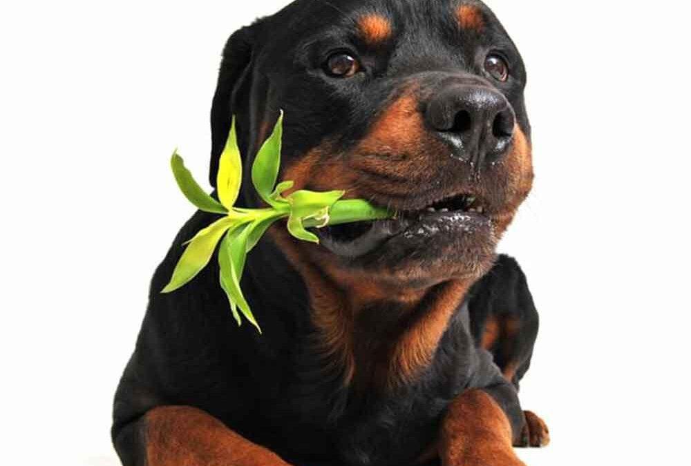 plantas-que-podem-envenenar-seu-pet