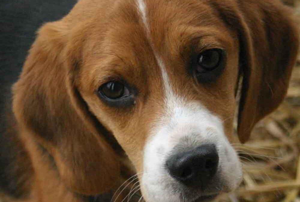 tudo-que-você-precisa-saber-antes-de-adotar-um-Beagle