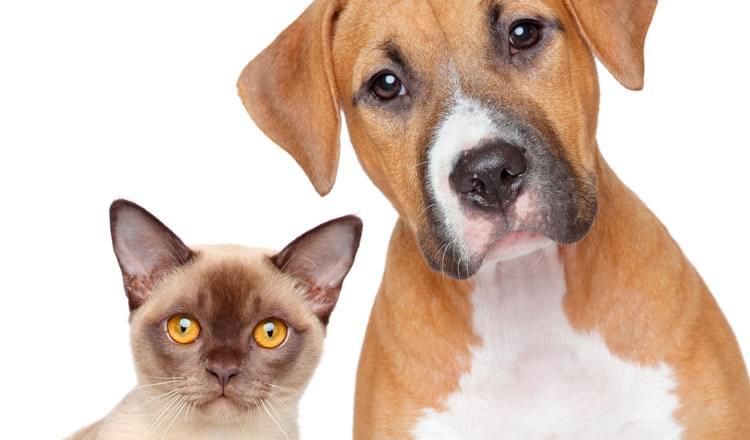 hemopuntura-como-tecnica-para-o-tratamento-de-doenças-cronicas-em-animais