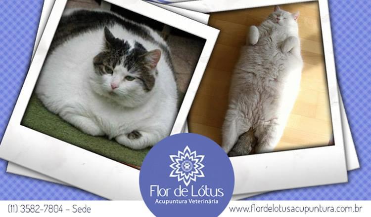 obesidade-em-gatos-como-identificar
