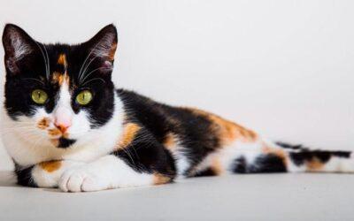 Acupuntura em gatos! É possível?